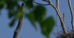 Blue Herons nesting in trees found in a marshy wetland in Canada Stock Footage