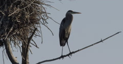 Blue Herons in Canada Stock Footage