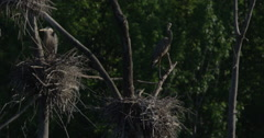 Nesting Blue Herons and their babies Stock Footage
