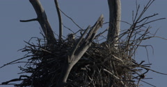 Natural habitat of the Canadian Blue Heron - Nests in Marshy Wetland in Springti Stock Footage