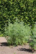 Artemisia absinthium (absinthe) plant in a herb garden Stock Photos