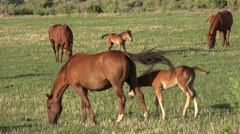 4K Playful Foal Circles Mare Attempts To Nurse In Horse Pasture Stock Footage