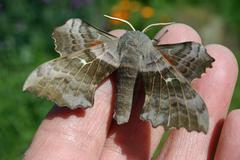 Poplar hawk moth on hand Stock Photos