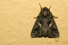 Orache Moth (Trachea atriplicis) sitting on the wall Stock Photos