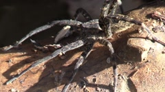 Dark fishing spider on top of log Stock Footage
