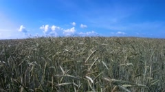 Agricultural field with plantation of wheat Stock Footage