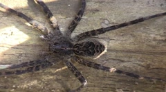 Dark fishing spider clings to log Stock Footage