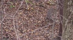 Whitetail deer monster buck 12 point checking scrapes Stock Footage