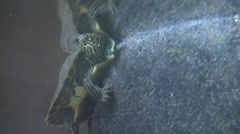 Baby turtle clings to side of rock in river Stock Footage