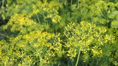Plantation of dill in the kitchen garden Stock Footage
