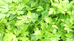 Plantation of parsley in the kitchen garden Stock Footage