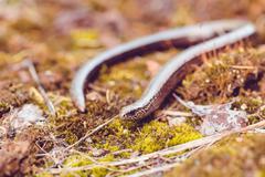 Slow Worm or Blind Worm, Anguis fragilis Stock Photos