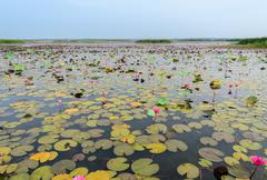 The sea of red lotus or water lily in Talay-Noi Wetland, Thailand Stock Photos