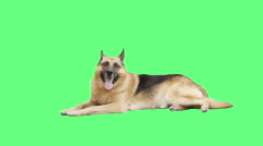 Shepherd looking on green screen Stock Footage