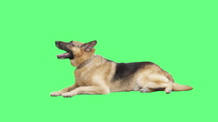 Shepherd lying on  green screen Stock Footage