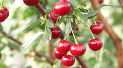 Red ripe cherry on the branch in the orchard Stock Footage