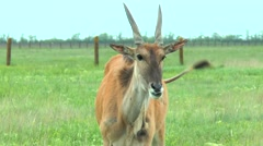 Eland looks at the camera Stock Footage
