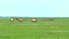 Panorama of the steppe. At the steppes we see the Przewalski horses and bisons Stock Footage