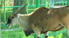 Male antelope eland in the paddock Stock Footage