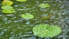 HD footage of rain drop on lotus leaf, Slow motion Stock Footage