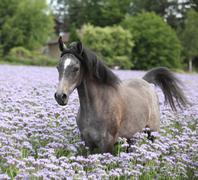 Nice arabian horse running in fiddleneck field Stock Photos