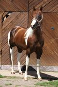 Portrait of beautiful paint horse stallion Stock Photos