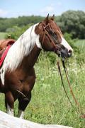 Portait of beautiful paint horse stallion Stock Photos