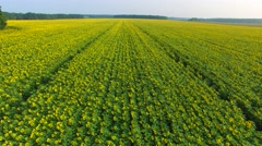 Flying along a field of sunflowers, Ukraine Stock Footage