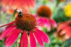 Bumble-bee and red rudbeckia flowers in the garden, natural scene - stock photo
