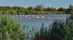 Pink Flamingos In Camargue France Wild Birds In Water Pond Stock Footage