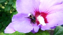 Bumblebee looking for pollen - stock footage