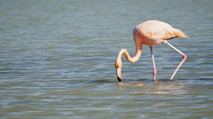 Feeding flamingo on isla santa cruz in the galapagos Stock Footage