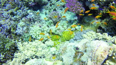 Underwater Closeup Stone fish corals Diving Red Sea. Dahab. Egypt. 4k video Stock Footage