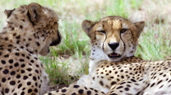 Slow motion shot of two Cheetahs playing and interacting Stock Footage