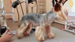Yorkshire terrier grooming Stock Footage