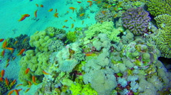 Underwater diving corals fishes Red Sea. Synanceia corals. Egypt. 4k video Stock Footage