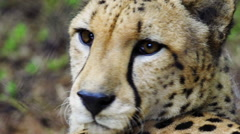 Extreme close up of a Cheetah looking around alert and scanning for prey - stock footage