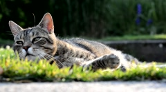 Striped cat lying on the garden Stock Footage