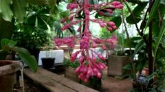 Medinilla, inflorescence, Botanical Garden of MSU, Moscow Stock Footage