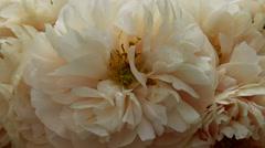 Exhibition of flowers, varietal creamy peonies, Botanical Garden of MSU, Moscow Stock Footage