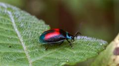 Leaf Beetle, Aspicela bourcieri (Chrysomelidae) Stock Footage