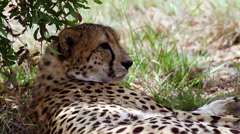 Two Cheetahs resting in the shadow of a bush Stock Footage