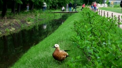 Shelduck, ditch, bridge, Botanical Garden of MSU, Moscow - stock footage