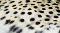 Slow motion pan along the spotted fur of a Cheetah Stock Footage