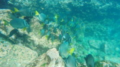Yellow-tailed surgeonfish at isla espanola in the galapagos Stock Footage
