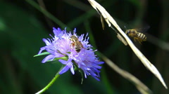 Bees encounter clash on a purple flower Stock Footage