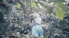 Peasants picks ripe coffee beans Stock Footage