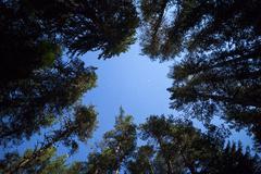 Pine trees night sky stars from beneath - stock photo