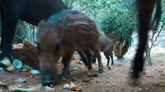Young wild pigs eating kitchen scraps on a hill side camera at ground level Stock Footage