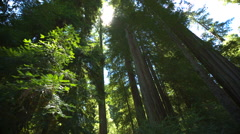 Panning Looking Up in Red Wood Forest Stock Footage